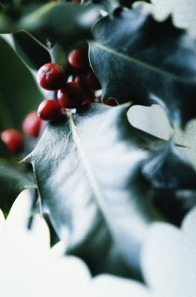 Facts About Holly Trees | Home Guides | SF Gate