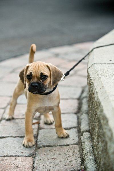 A little encouragement and perhaps a small treat will help your stubborn puppy learn to walk on a leash.