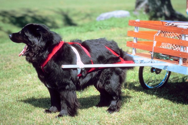Train your large dog to pull a wagon for exercise.
