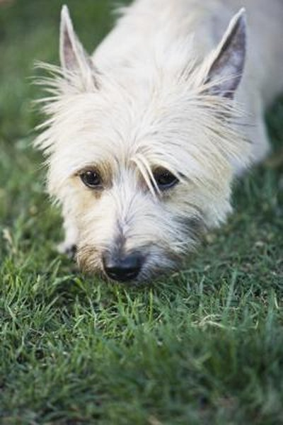 How To Brush A Cairn Terrier Pets