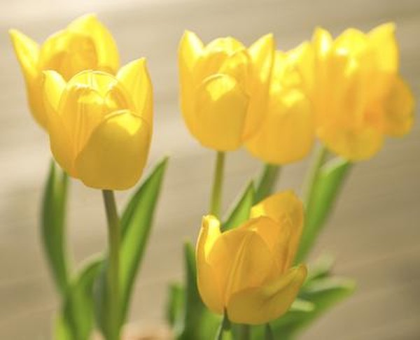 How To Handle Fresh Cut Tulips Home Guides Sf Gate