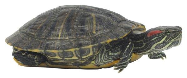 List Of Small Pet Turtles Pets
