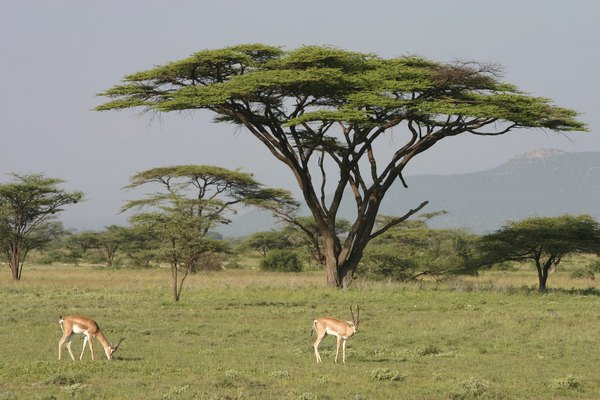 Antelope graze near an acacia tree on a savannah.