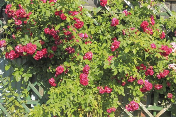 Climbing Roses in Pots | Home Guides | SF Gate on
