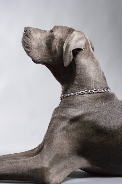 skin rashes in weimaraners pets. Black Bedroom Furniture Sets. Home Design Ideas