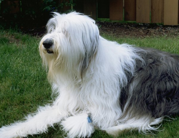 Ticks crawl from lawns and other foliage onto your long-haired dog.