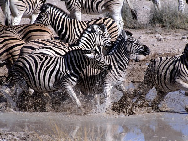 Zebras are a prey species living in grassland ecosystems.