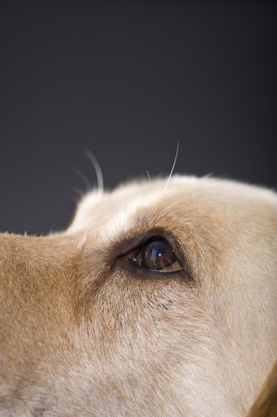 Dog eyes are delicate, so take care of them.