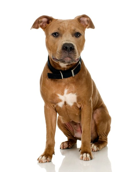 The well-chiseled head of the American pit bull terrier is unique and is a defining feature of the breed.