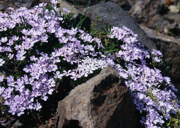 How To Plant Creeping Phlox For Ground Cover Home Guides Sf Gate