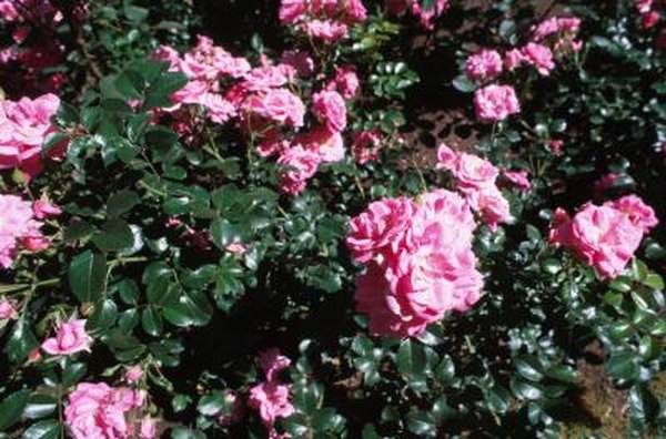 Knock Out Roses Landscape Ideas Home Guides Sf Gate