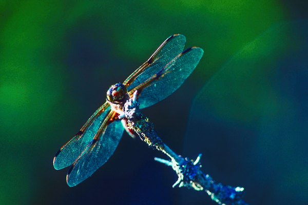 Dragonflies reflect ecosystem health.