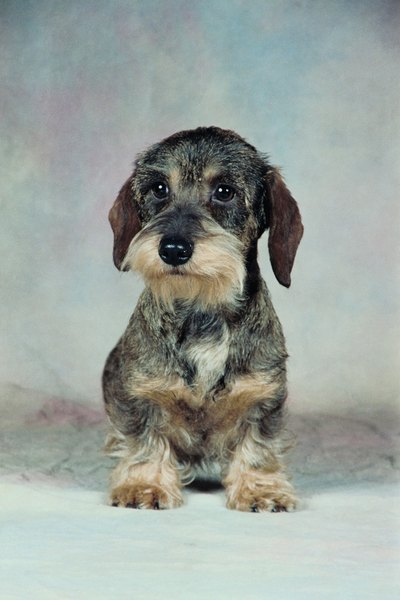 Wire Haired Dachshund Grooming Styles By Glenda Taylor My Beard Makes Me Distinguished Looking