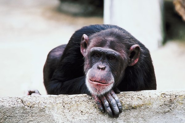 Chimp in a Zoo