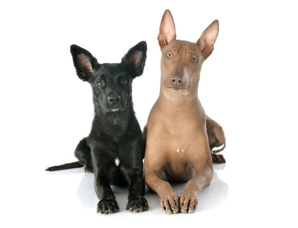 Mexican Hairless Dogs Range In Color From Bronze To Black