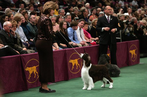 English springer spaniels must conform to a breed standard to be considered show dogs.