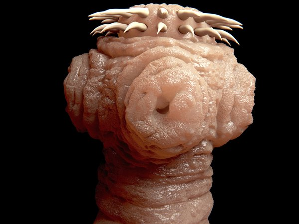 A hooked appendage called a scolex allows tapeworms to attach themselves to flesh.