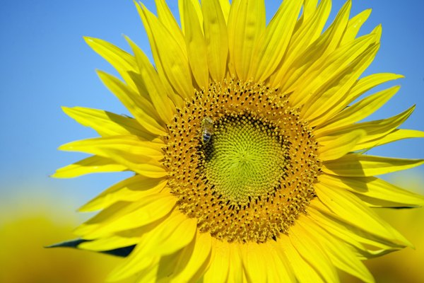 Male female parts of the sunflower plant home guides sf gate sunflower disc florets bear pollen starting from the outside and moving inward ccuart Images