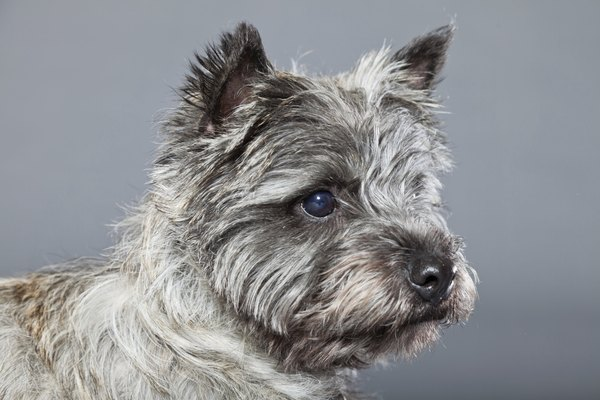 Perhaps, for a cairn terrier, there's no place like your home.