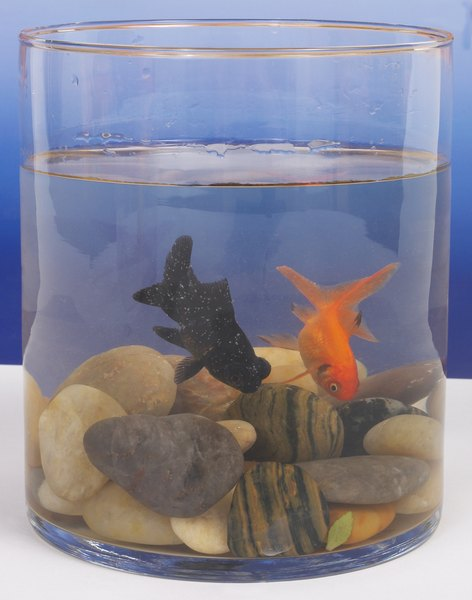 These Fantail Goldfish Will Need A Much Larger Tank Than This When They Become Pas