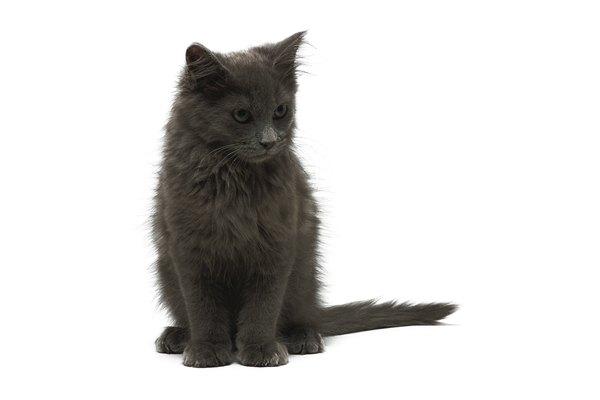 size of miniature dwarf cats pets