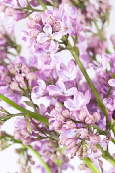 Are Lilac Bushes Poisonous to Animals? | Home Guides | SF Gate