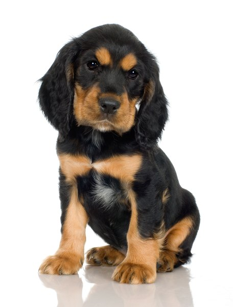 Puppies are more likely to be infected with and shed infectious giardia.