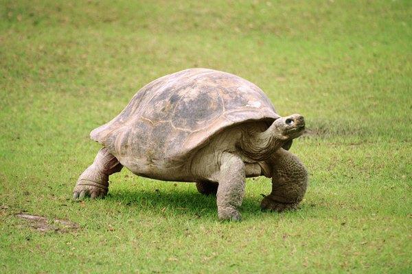 The Florida box turtle has elephant-like hind legs