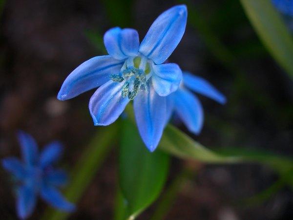 El azul de las flores del lirio es muy atractivo.