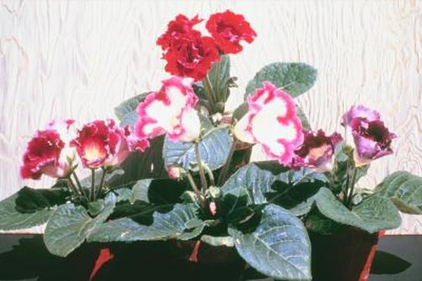 How To Plant Gloxinia Home Guides Sf Gate