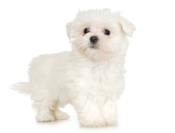 maltese dog. maltese dogs are famous for their striking white coats. dog o