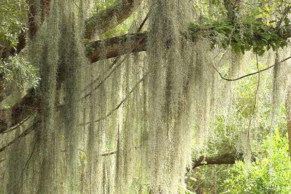 An abundance of spanish moss covers a tree.