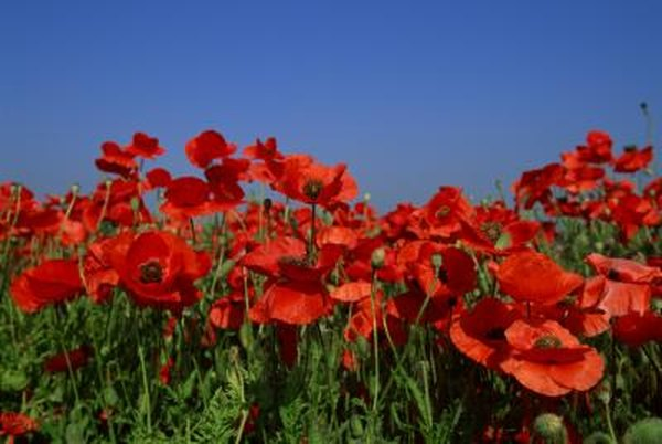 Identifying Poppy Plants