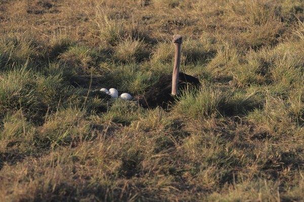 Camouflaged Ostrich