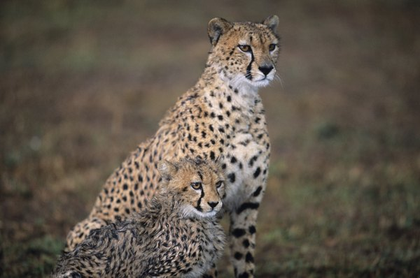 Cheetahs ready to hunt.