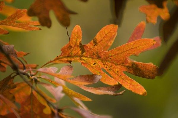 white oak leaves.