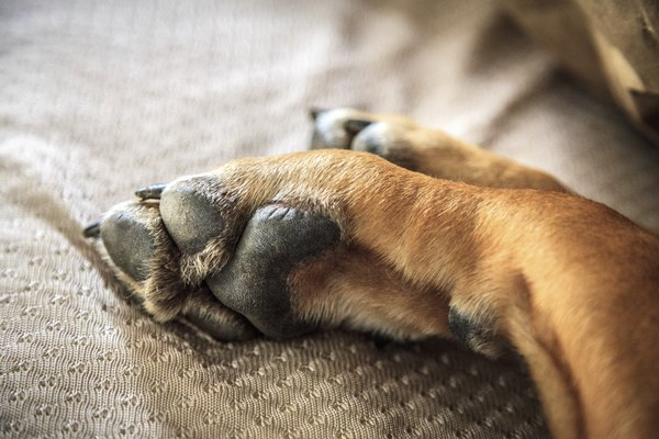 Your dog's feet can become scraped, cut, cracked or itchy from a number of common ailments.