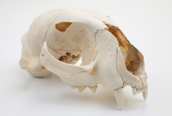 Sideview of cat skull.