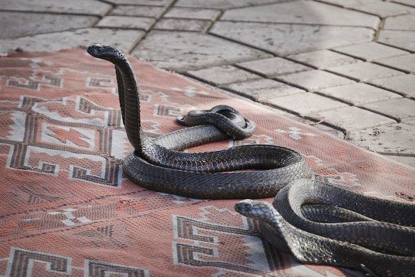 What Is the Life Cycle of the Cobra?