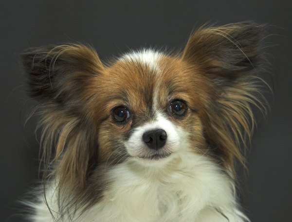 "Papillon is French for ""butterfly;"" the ears resembling that beautiful insect are hallmarks of the breed."