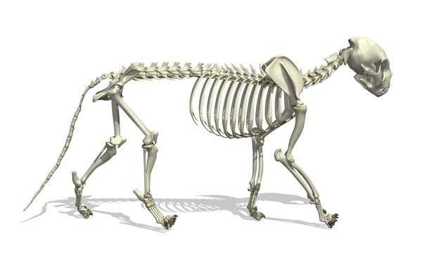 3D illustration of a cat skeleton.