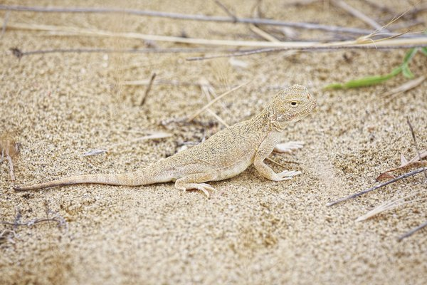 A fringe-toed lizard walks across the sand.