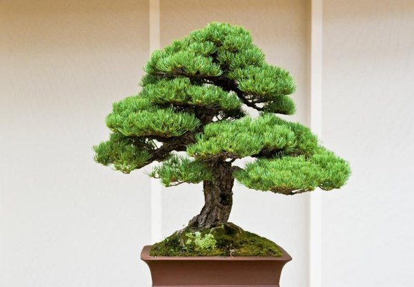 Amazing How To Get A Taper On A Formal Upright Bonsai Home Guides Sf Gate Wiring Cloud Hisonuggs Outletorg