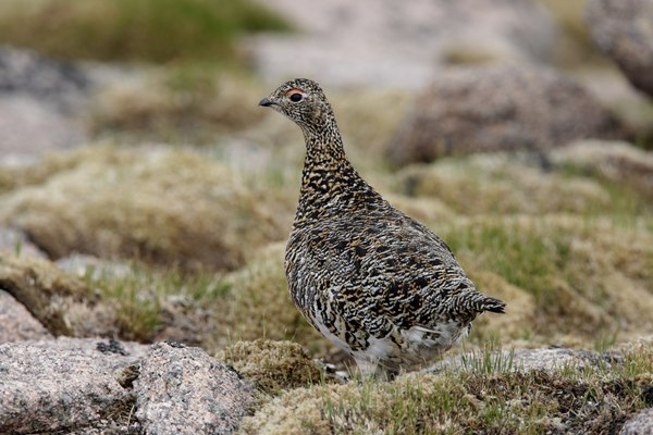 Ptarmigans are brown in summer.