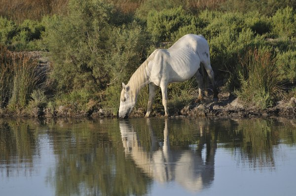 horses are native to France's Camargue region