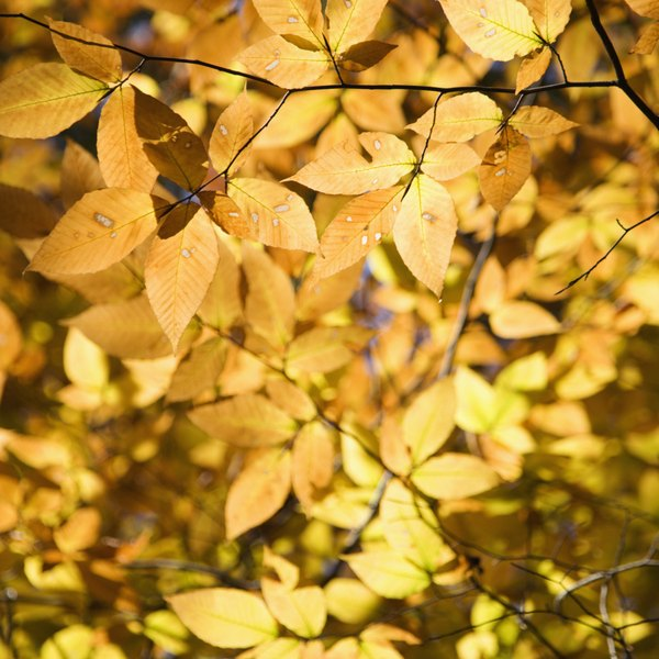 American Beech tree leaves in autumn