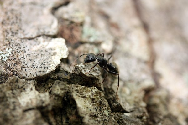 A close-up of a carpenter ant on pine bark.