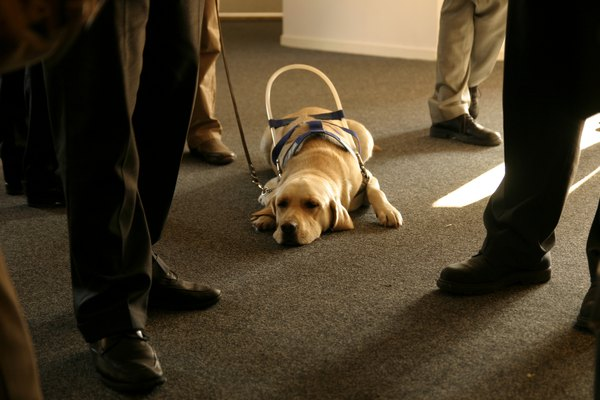 A guide dog waits patiently.