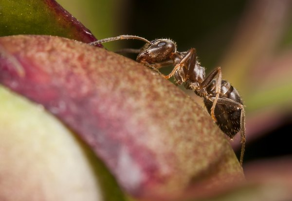 Pharaoh ants are another natural predator of the bed bug.