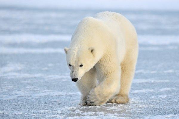 A polar bear walks on an icy lake in Churchill, Canada.
